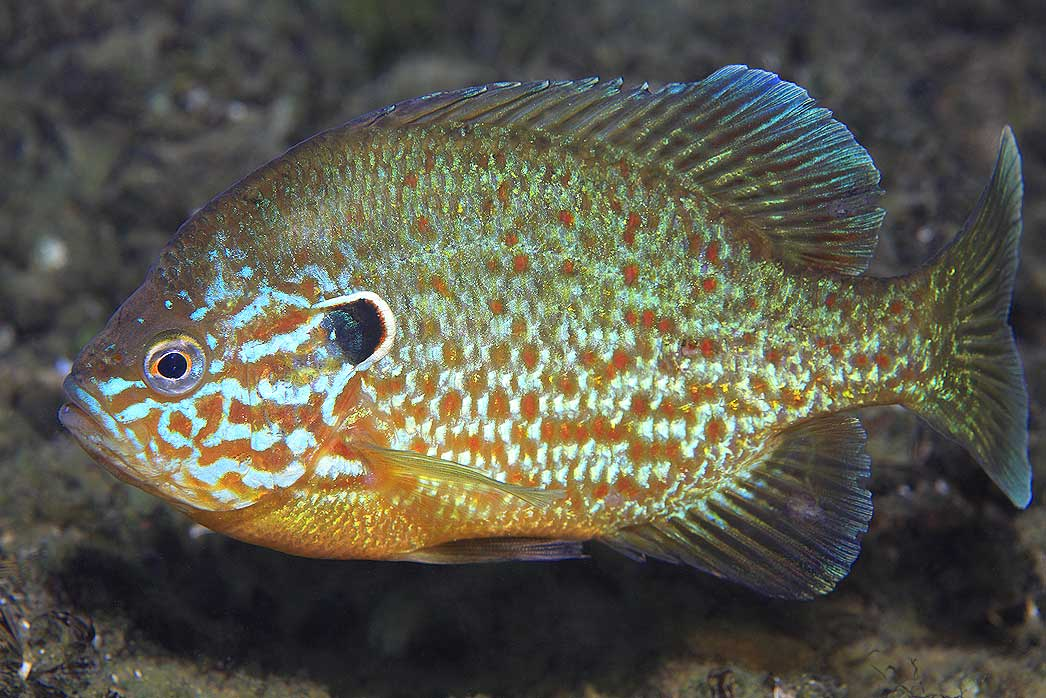 Pumpkinseed Sunfish - Belle Isle Nature Zoo